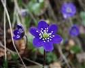 Profilbillede for 'Anemones mor'