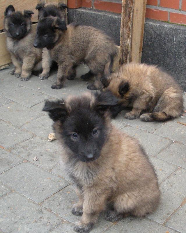Lækker Belgisk Hyrdehund Malinois Til Salg BM83 | Congregationshiratshalom JC-62