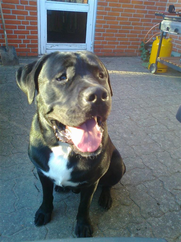 Og gul hund gratis bortgives Hunde til